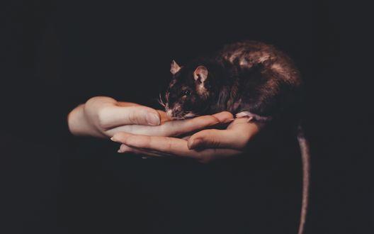 Обои Коричневая крыса в женских руках