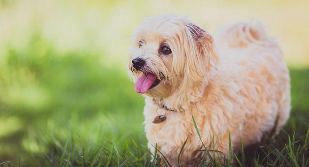 Обои Пушистый щенок на траве высунул язык