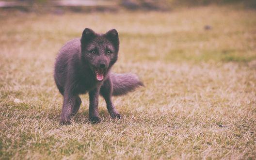 Обои Щенок арктической лисы на траве