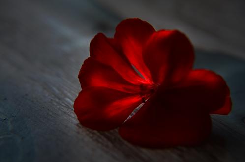 Обои Одинокий красный цветок, фотограф V3CT0RSHTEIN