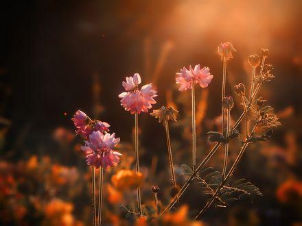 Обои Розовые цветы на размытом фоне, фотограф Mihalych
