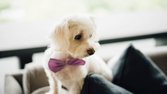 Обои Белый пес с бабочкой на шее