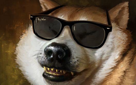 Обои Акита-ину в солнцезащитных очках