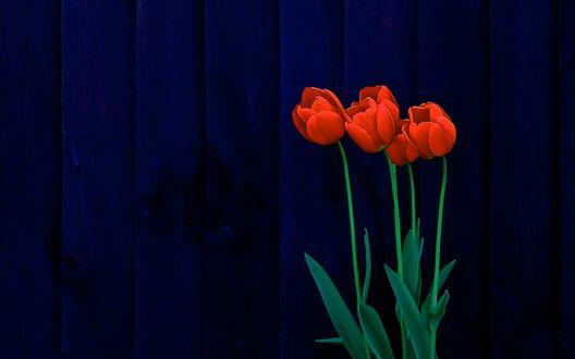Обои для рабочего стола Красные тюльпаны на фоне синего забора (© Arinka jini),Добавлено: 24.02.2017 01:24:18