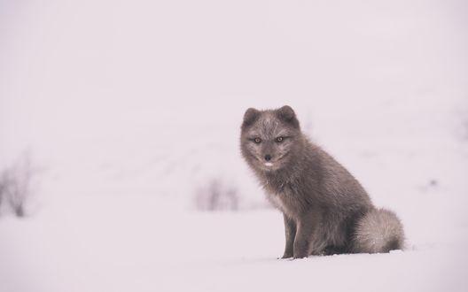 Обои Серая полярная лиса на снегу