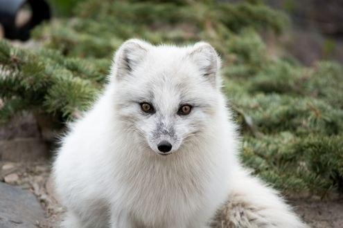 Обои Белая полярная лиса на фоне хвои