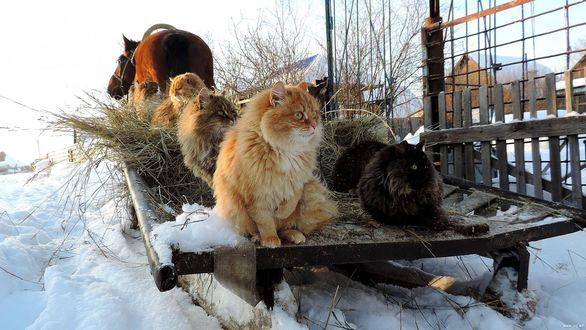 Обои Коты сидят на санях, запряженных лошадью и смотрят по сторонам