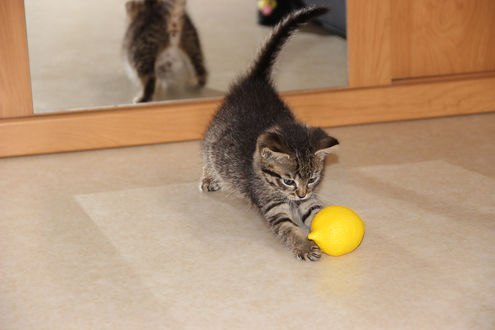 Обои Котенок играет с лимоном и отражается в зеркале