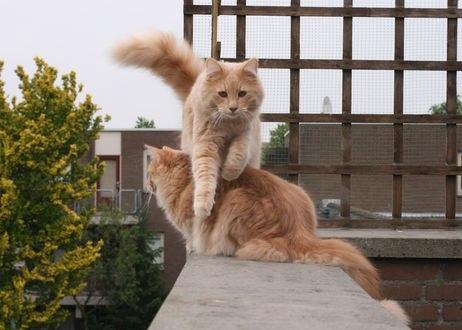 Обои Два рыжих кота на веранде