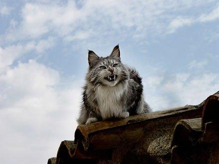 Обои Серый кот на крыше делает страшную морду, отпугивая врагов