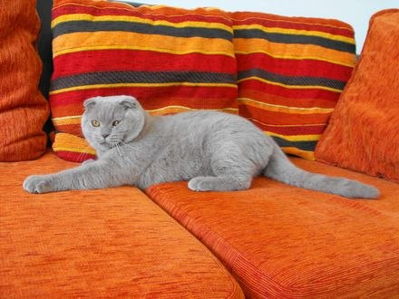 Обои Британский кот лежит на оранжевом диване