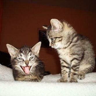 Обои Серые котята сидят на белом пледе
