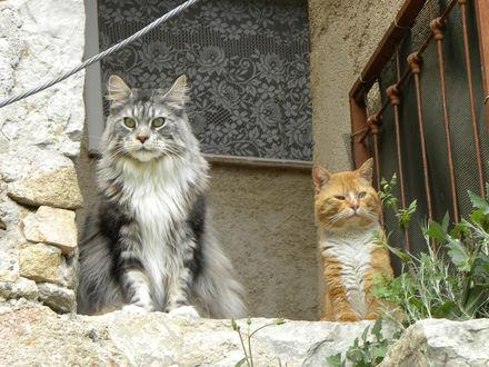 Обои Два авторитетных кота - серый и рыжий сидят возле окна с тюлью и много думают