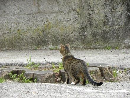 Обои Серый кот увидел что-то интересное у стены