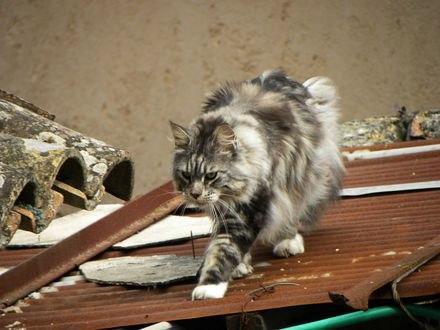 Обои Кот Мейн-кун идет по крыше