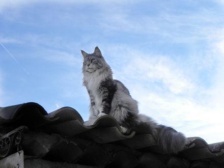Обои Кот Мейн-кун сидит на крыше на фоне голубого неба