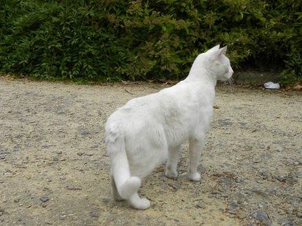 Обои Белый кот с пушистым хвостом увидел что-то интересное