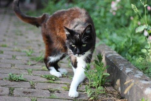 Обои Кот с недобрыми глазами идет вдоль бардюра