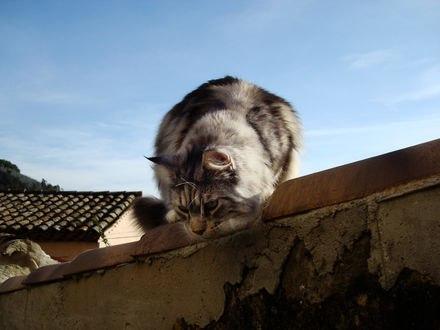 Обои Серый кот смотрит с крыши вниз на фоне неба