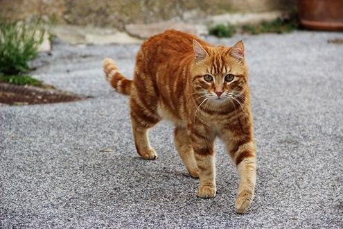 Обои Рыжий кот идет по дороги на камеру