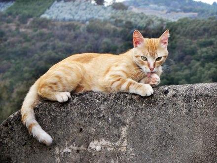 Обои Рыжий кот лежит на каменной стене и лижет лапу