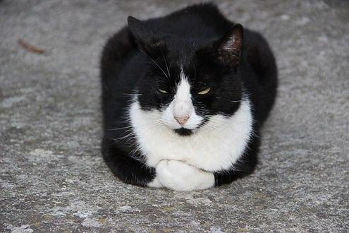 Обои Черно-белый кот сидит сложа лапы