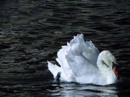 Обои Лебедь на пруду плавает