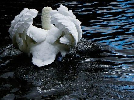 Обои Лебедь на пруду поднял крылья