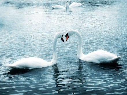 Обои Лебеди на пруду образуют шеями сердце