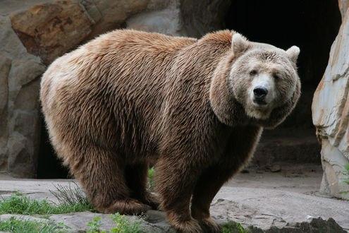 Обои Медведь стоит среди камней
