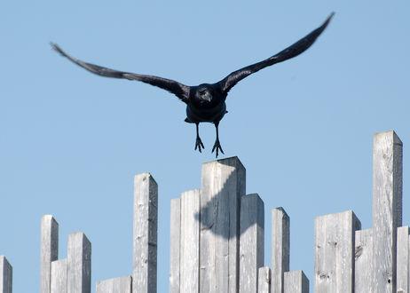 Обои Черный ворон летит над забором