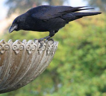Обои Черный ворон сидит на каменной вазе