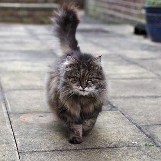 Обои Недобрый серый кот идет по дороге