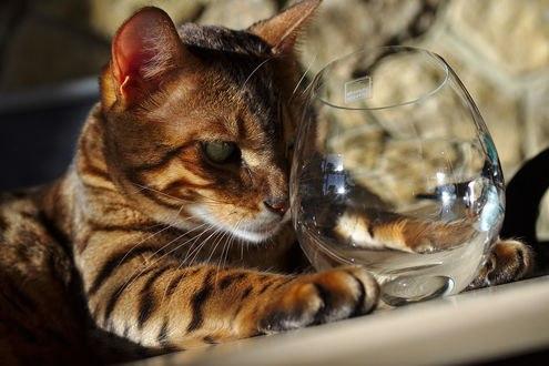 Обои Кот сидит с бокалом
