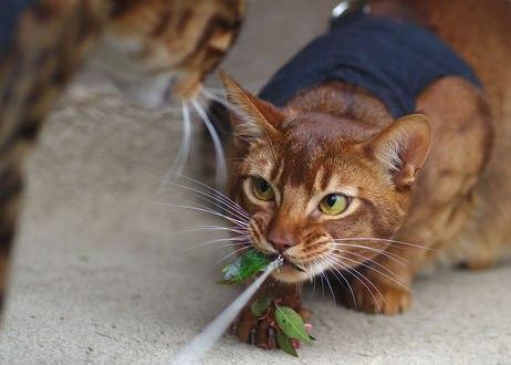 Обои Кот тянет веревку с листьями и не дает другому коту