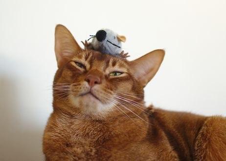Обои Кот с мышом на голове