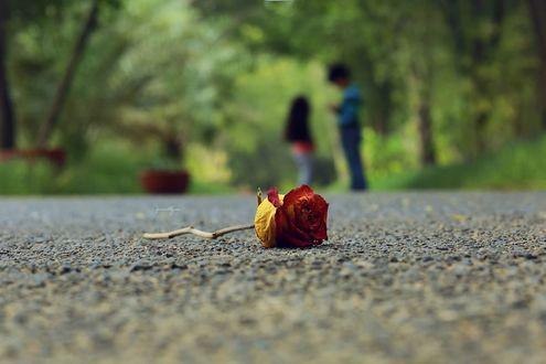 Обои Красная роза на дороге, фотограф Yasser Alzain