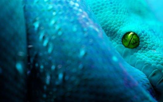 Обои Голубая змея с зеленым глазом крупным планом