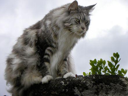 Обои Серый кот Мейн-кун сидит на камне