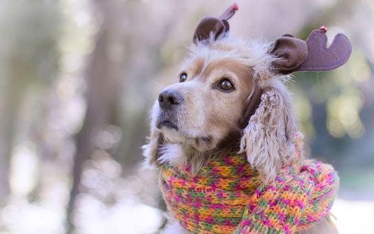 Обои Спаниель в вязанном шарфике и в ободочке с оленьими рожками на размытом фоне