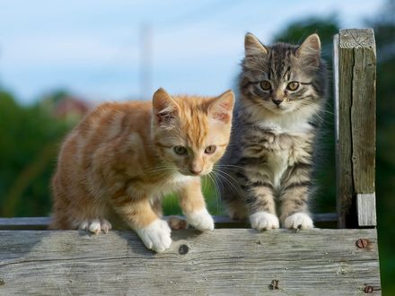 Обои Рыжий и полосатый котята