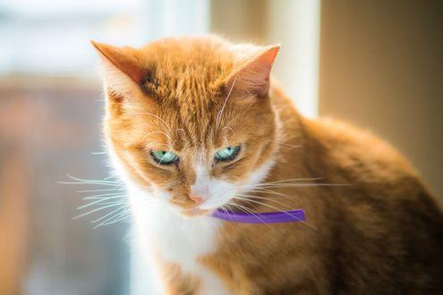 Обои Рыжий кот с фиолетовым ошейником