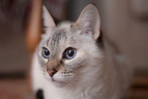 Обои Голубоглазая кошка смотрит вперед