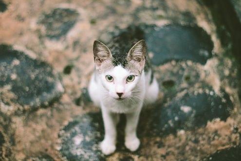 Обои Черно-белая кошка смотрит в камеру