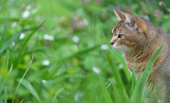 Обои Большой кот в зеленой траве