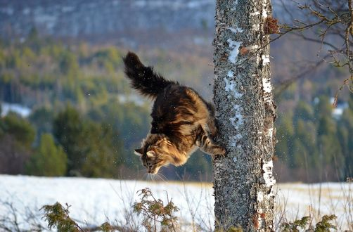 Обои Кот прыгает с дерева
