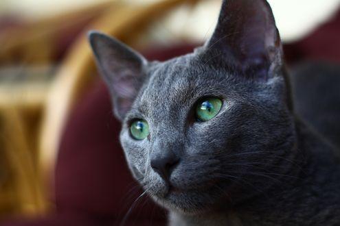 Обои Серый кот с зелеными глазами