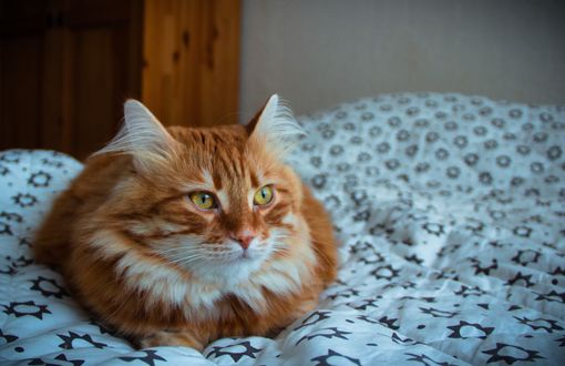Обои Рыжий кот на кровати