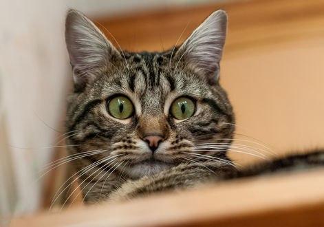 Обои Удивленный полосатый кот