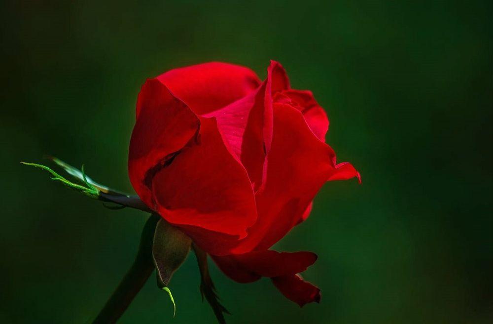 Обои для рабочего стола Красная роза на зеленом фоне